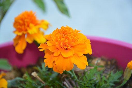 Carnation Of India, Flower, Orange, Plant, Nature