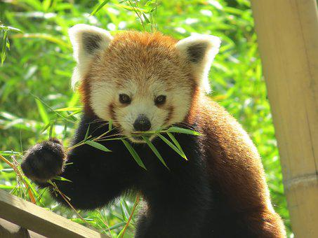 Panda, Roux, Animal, Cute, Bamboo, Asia, China, Coat