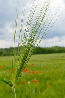 Corn Ear, Awn, Green, Field, Macro, Close, Beautiful