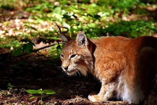 Lynx, Wild Animal, Dangerous, Cat, Predator