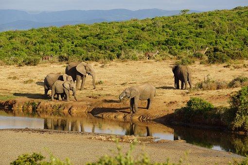 Elephant, Water Hole, Africa, Safari