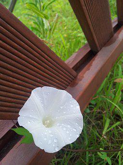 Flowers, Morning Glory, White Flowers, After, Plants