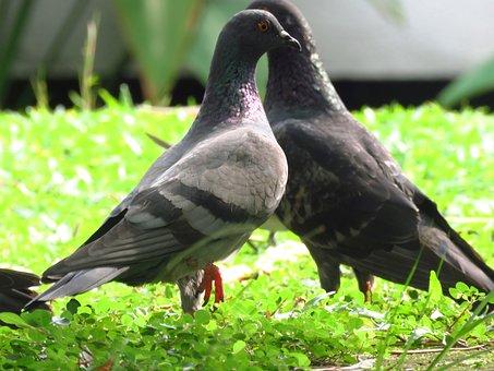 Dove, Birds, Freedom