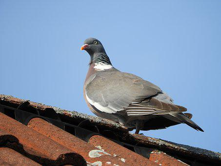 Dove, Roof, Bird, Gable, Sky, Birds, Feather