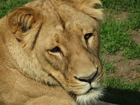 Lioness, Head, Zoo, Beast