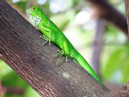 Chameleon, Green, Tree Branch, Lizard
