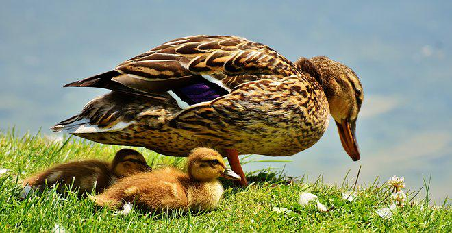 Duck, Chicks, Ducklings, Protection, Mama, Plumage