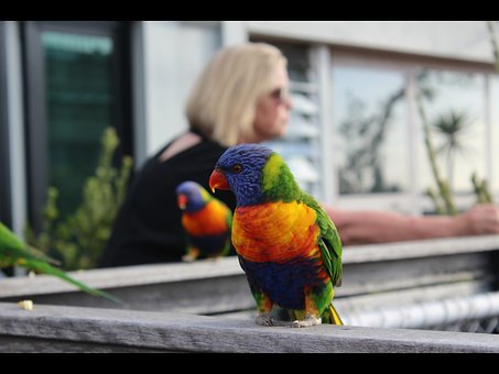 Rainbow, Lorikeet, Parrot, Melbourne, St Kilda, Bird