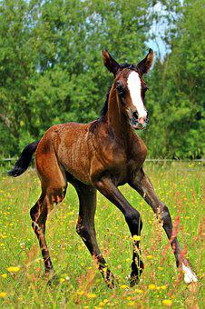 Horse, Gallop, Foal, Thoroughbred Arabian, Pasture