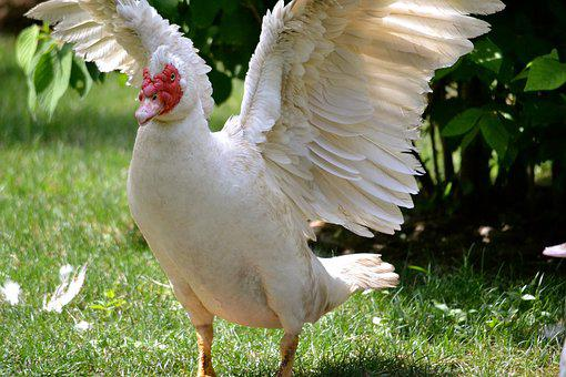 Chicken, Rooster, Bird, Farm, Hen, Red, Traditional