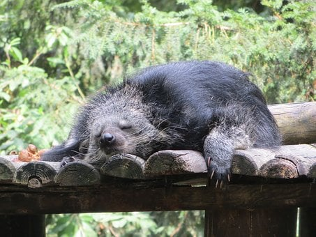 Binturong, Animal, Sleeps, Viverridés, Arctictis, Rest