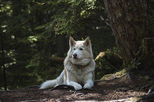 Forest, Dog, Canine, Wolf, Husky, Siberian, Animal