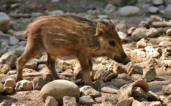 Wild Pigs, Launchy, Wildpark Poing, Young Animals