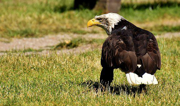 Adler, Bald Eagles, Bird, Raptor, Bald Eagle