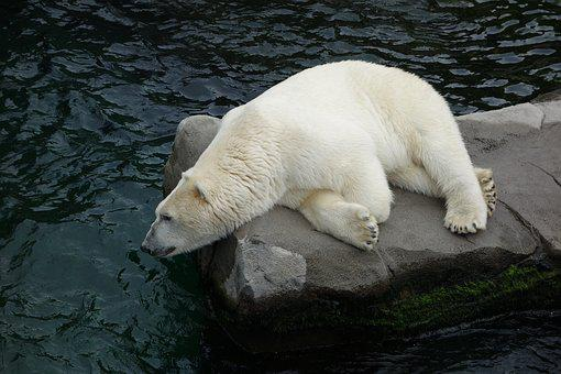 Polar Bear, Bear, Predator