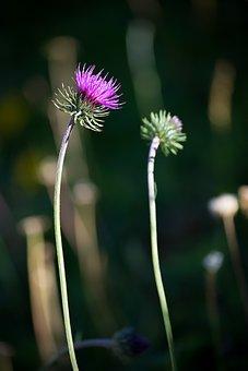 Thistle, Plant, Wild Plant, Blossom, Bloom, Purple