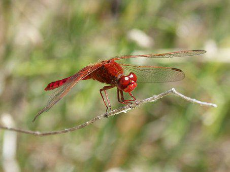 Red Dragonfly, Branch, Wetland, Winged Insect