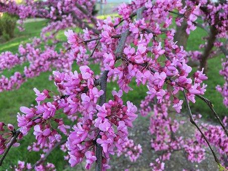 Redbud, Pink, Bud, Blossom, Nature, Spring, Flower