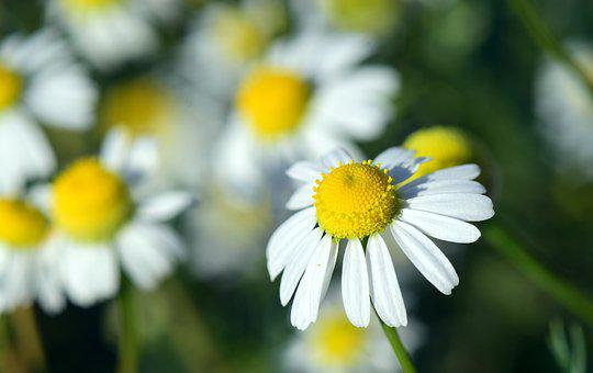 Chamomile, Chamomile Flower, Medicinal Herb