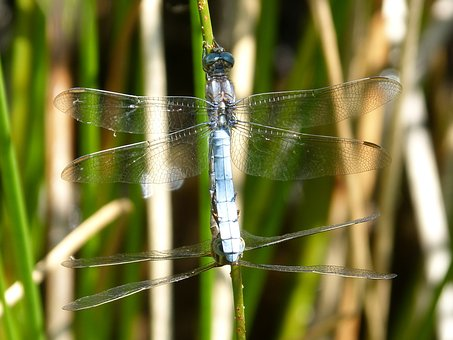 Dragonfly, Blue Dragonfly, Couple, Reproduction