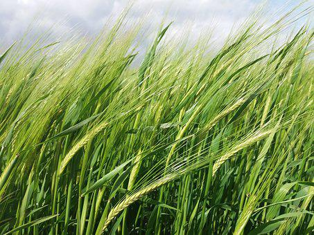 Wheat, Field, Nature, Green, Agriculture, Farm, Summer