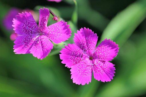 Dianthus Armeria, Wild Carnation, Flower, Blossom