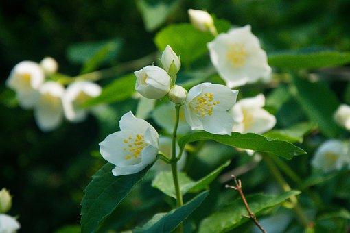 Flowers, Flower, Spring, Blooming Flowers, Jasmine