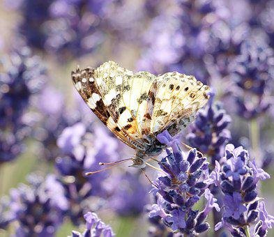 Lavender, Butterfly, Nature, Plant, Blossom, Bloom