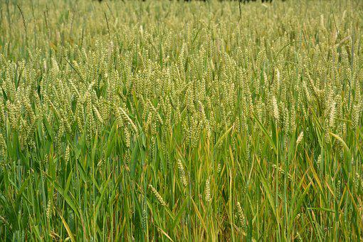 Wheats, Cereals, Spikes, Bread, Nature, Agriculture