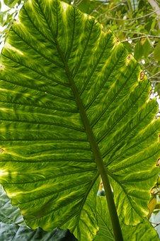 Leaf Structure, Leaf, Big Leaf, Leaf Veins, Nature