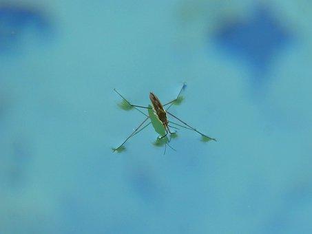 Guerrido, Sabater, Gerridae, Pond, Aquatic Insect