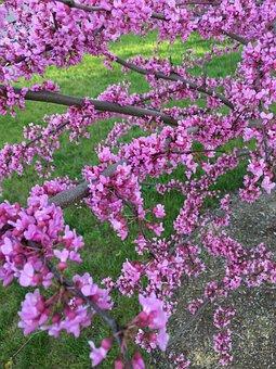 Redbud, Eastern, Pink, Purple, Tree, Blossom, Flower