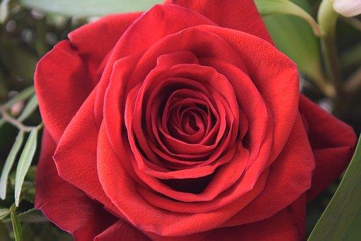 Rose, Plant, Flower, Floral, Decoration, Summer, Nature