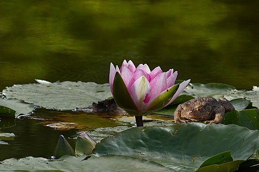 Plant, Aquatic Plant, Water Lily, Nymphaea, Purple