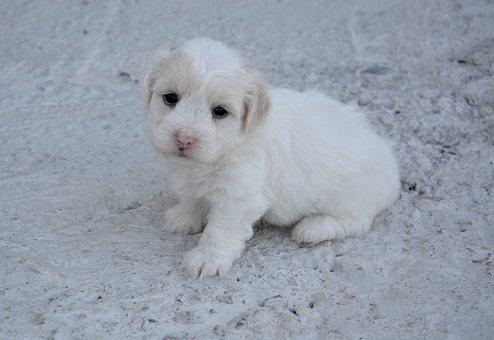 Puppy, Dog Coton Tulear, Domestic Animal, Animal