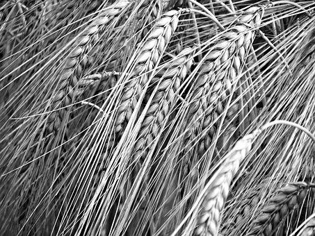 Corn, Black, Kłos, Biel, Ears