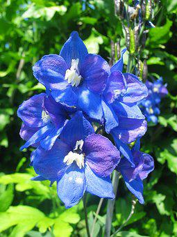 Larkspur, Blue, Blossom, Bloom, Flower, Shrub, Nature