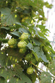 Hops, Beer, Plant, Blossom, Bloom, Green, Nature, Brew
