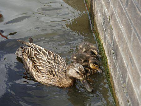 Ducks, Mother, Young, Water, Family, Fauna, Bird