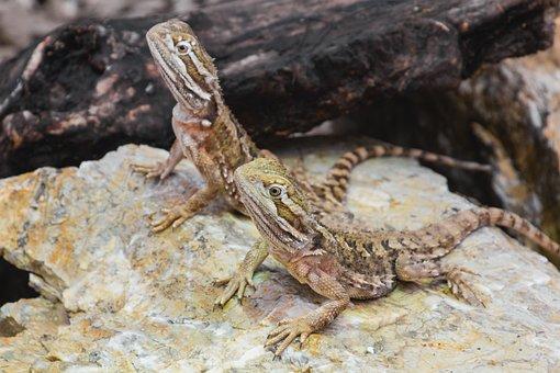 Dwarf Bearded Dragon, Agame, Reptile, Lizard, Animal