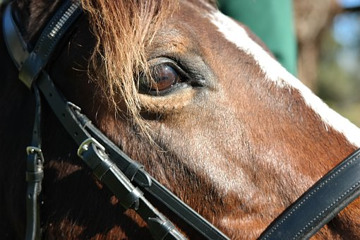 Horse, Eye, Equestrian, Riding, Head, Stallion, Mare