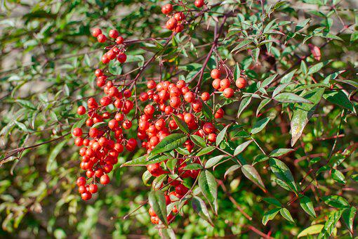 Red, Berries, Garden, Green, Leaves, Gardening, Foliage