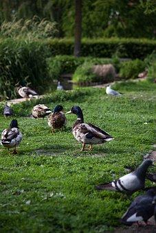 Ducks, Park, Duck, Nature, Water, Pond, Bird, Lake