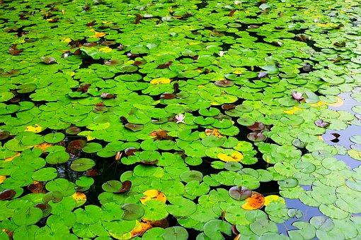 Lotus, Lotus Leaf, Pond, Aquatic Plant