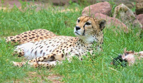 Cheetah, Big Cat, Predator, Nature, Animal