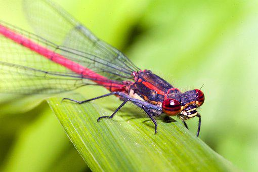 Zygoptera, Water Maid, Small Dragonfly, Insect, Nature