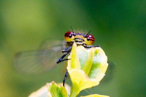 Small Dragonfly, Water Maid, Zygoptera, Macro, Close