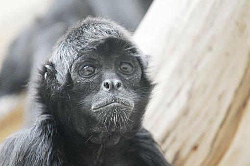 Spider Monkey, Monkey, Ape, Zoo, Animal, Mammal, View