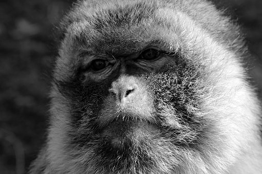 Monkey, Sad, Zoo, Animal, Primate, Imprisoned, Creature