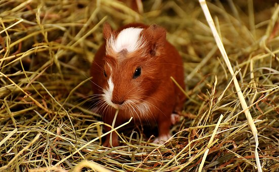 Guinea Pig, Animals, Nager, Cute, Pet, Sweet, Small